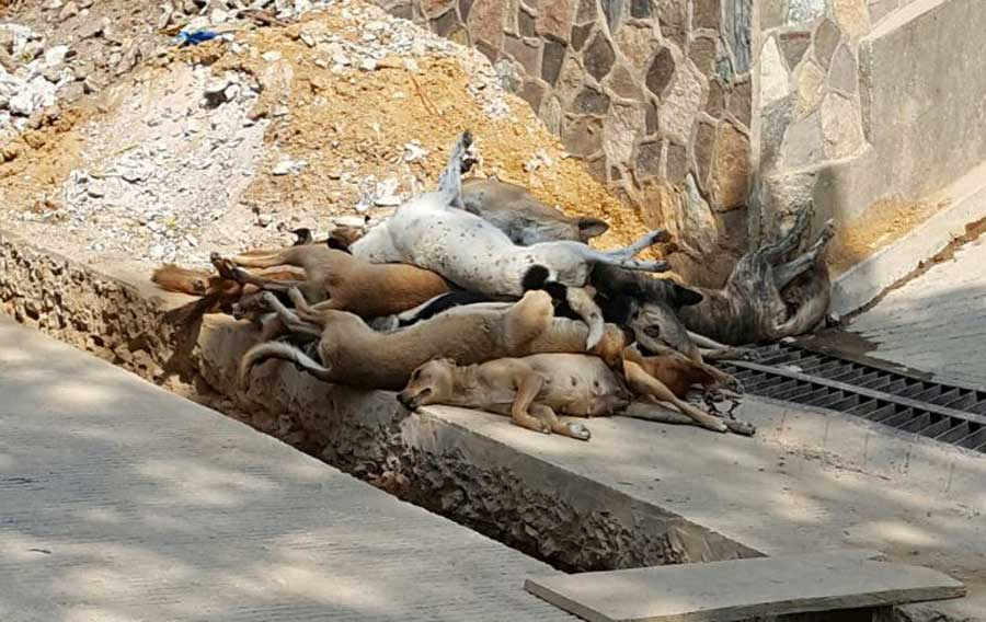 Perros muertos en San Marcos La Laguna