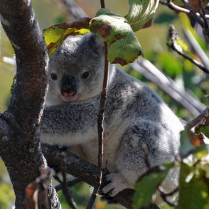 Los koalas se encaminan hacia la extinción en una parte de Australia