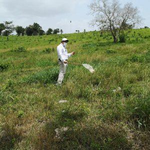 El MAGA inició acciones para controlar la langosta.