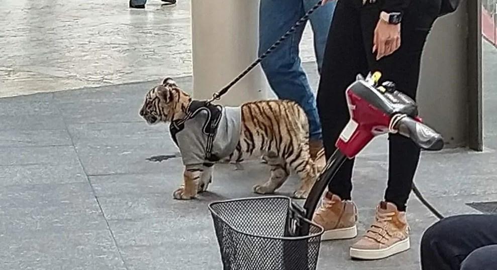 Mujer pasea a tigre de Bengala por plaza de Polanco