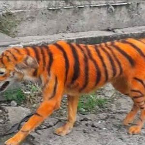 Pintan a perrito callejero para que parezca un tigre