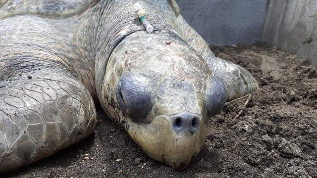 golpean a tortuga parlama en Escuintla