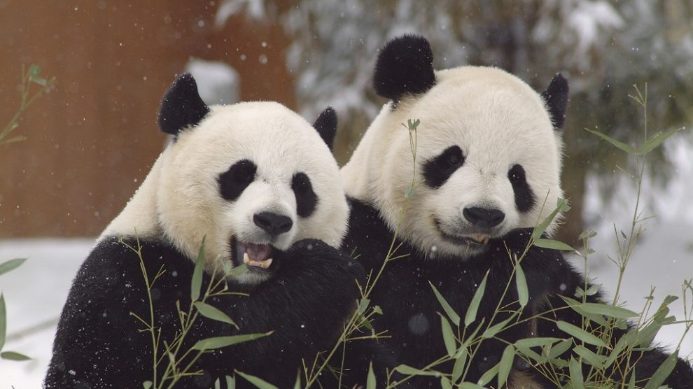 Osos panda del Smithonian Zoo de Washington
