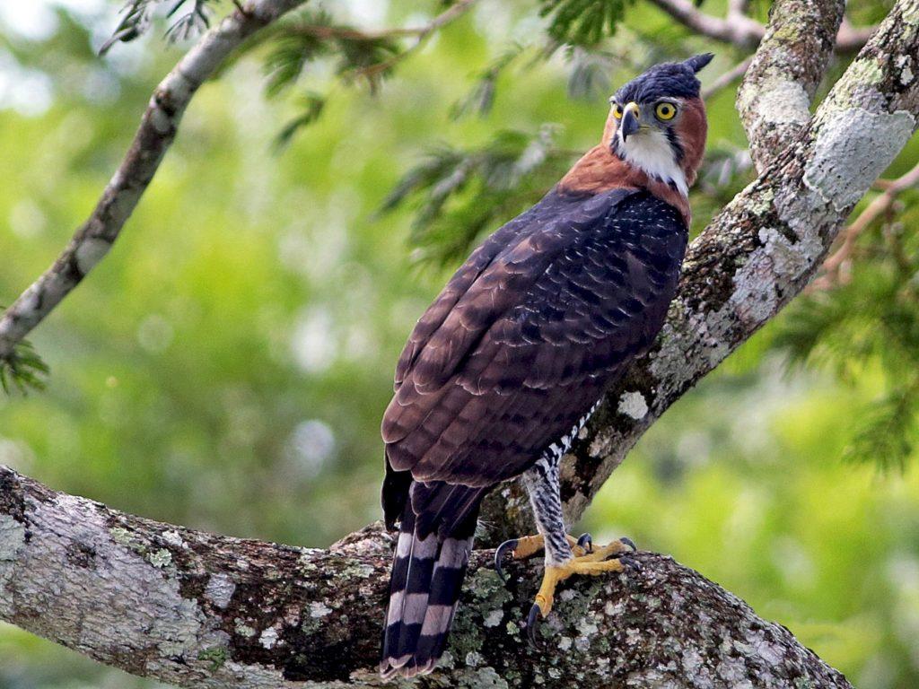 Águila penachuda