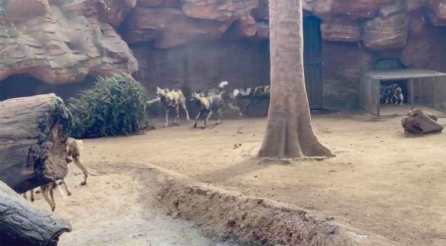 Perros salvajes juegan con árbol navideño
