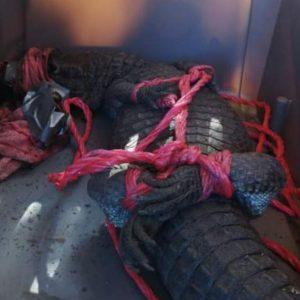 Autoridades localizaron un lagarto en Villa Nueva.