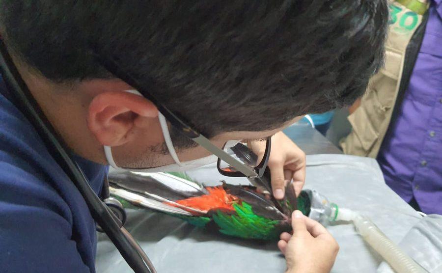 Muere quetzal rescatado en Mazatenango