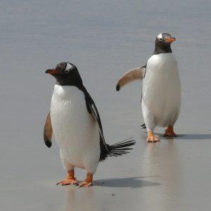 Pingüinos de Papúa