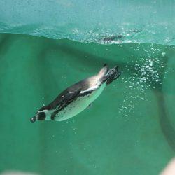 Nace el primer bebé pingüino en el zoológico La Aurora