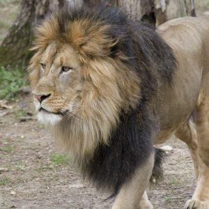 León del Zoológico de Washington D. C.